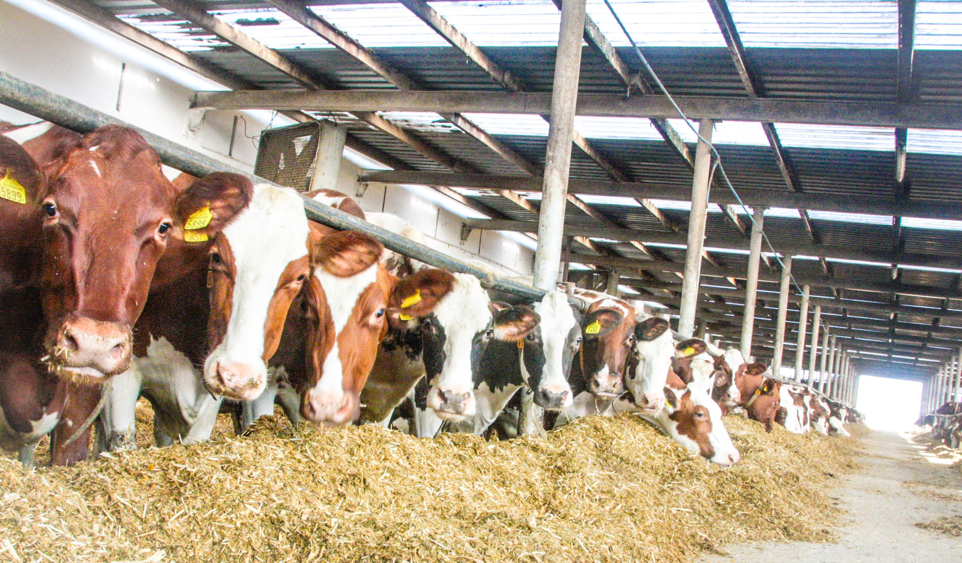 hodowla bydła mlecznego