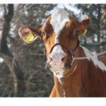 Krowa Komedia- Super Czempion