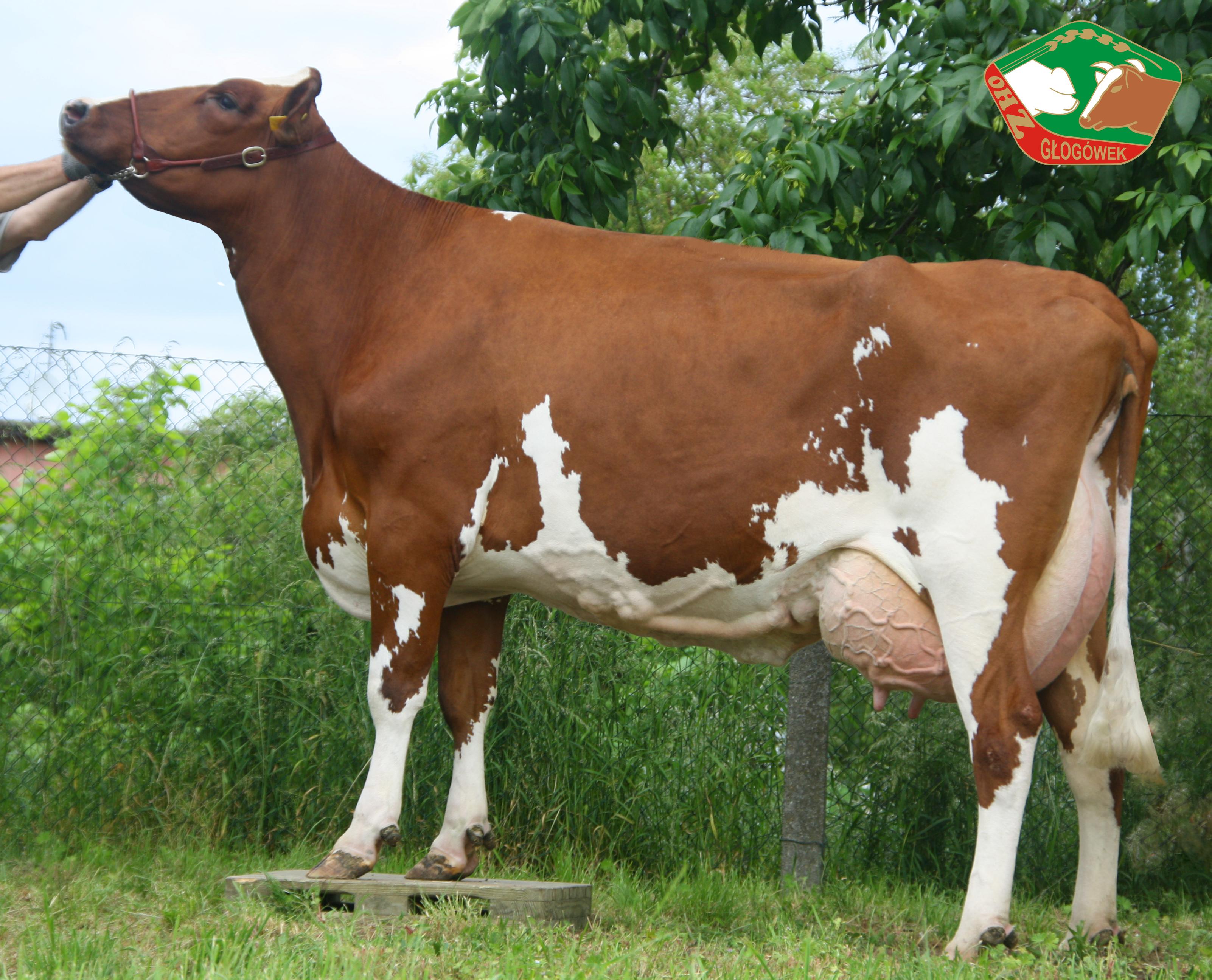 Krowy rasy HF odmiany RW