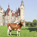 Krowa holsztyno-fryzyjska