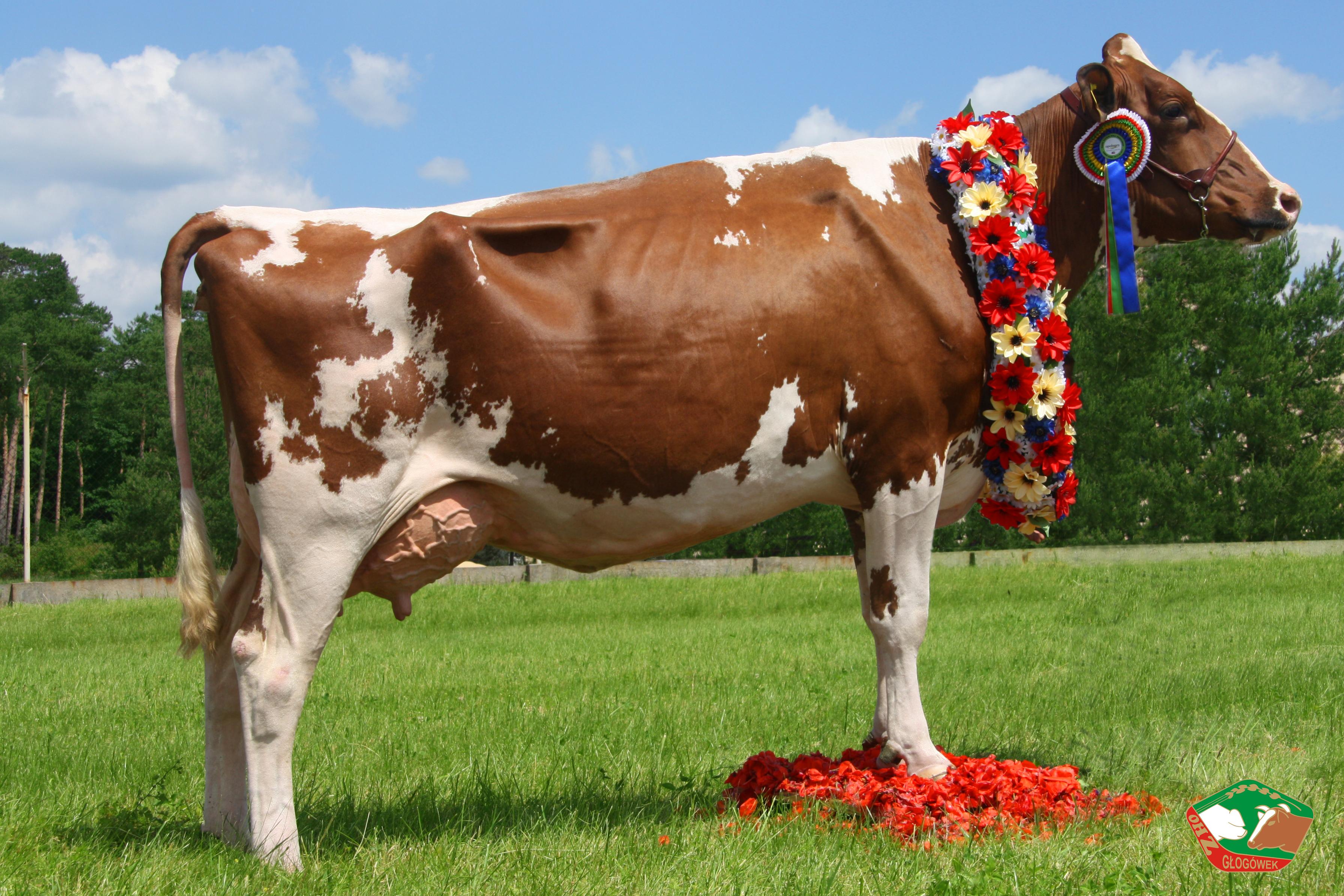 Nasz Super Czempion- krowa Komedia